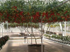 ITALIAN TREE TOMATO 'Trip L Crop' Rare Seeds