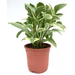 Root Bridges Indoor Peperomia Plant