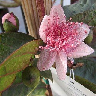 THAI MAROON guava live plant