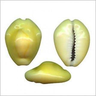 Natural Yellow Cowry/Kaudi/Kodi/Shells Set Of 11 Pcs
