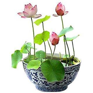 Lotus Flower Seeds 10 Pcs