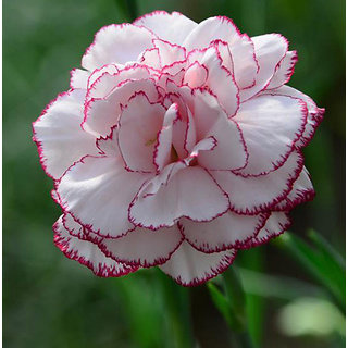 Futaba Chinese White and Pink Carnation seeds - 100 Seeds
