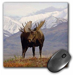 3dRose LLC 8 x 8 x 0.25 Inches Mouse Pad, Moose Bull Wildlife Denali National Park Alaska Steve Kazlowski (mp_87701_1)