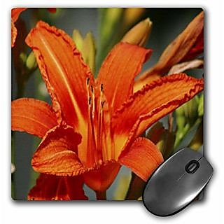 3dRose LLC 8 x 8 x 0.25 Inches Orange Lily Mouse Pad (mp_9046_1)