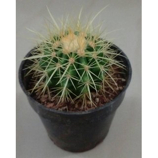 Cactus plant 29,succulent,exotic,indoor,show plant,home decor,garden,live plant with pot,parodia,ball cactus