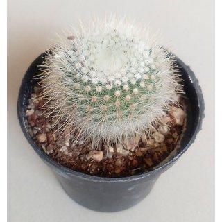 Cactus plant 36,succulent,exotic,indoor,show plant,home decor,garden,live plant with pot
