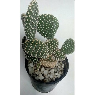 Cactus plant 40,succulent,exotic,indoor,show plant,home decor,garden,live plant with pot,Bunny cactus,Opunita Microdasys