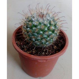 Cactus plant 34,succulent,exotic,indoor,show plant,home decor,garden,live plant with pot