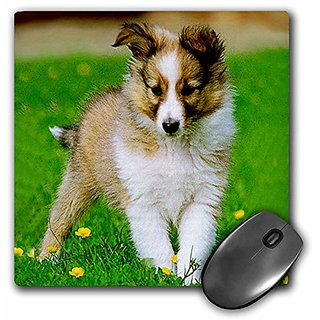 3dRose LLC 8 x 8 x 0.25 Inches Mouse Pad, Sheltie Puppy (mp_667_1)