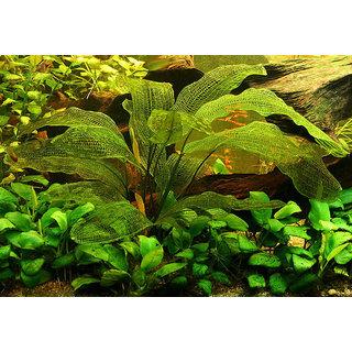 APONOGETON MADAGASCARIENSIS Seeds Aquarium Aquatic Plant Unique Fish Tank
