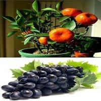 Bonsai Orange + Grapes Fruit Plant Seeds