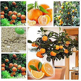 Bonsai Orange Tree Fruit Seeds
