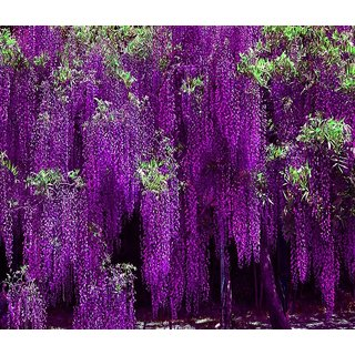 Japanese Wisteria Long Blossom Flower Tree   Seeds