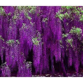Japanese Wisteria Long Blossom Flower Tree   Seeds