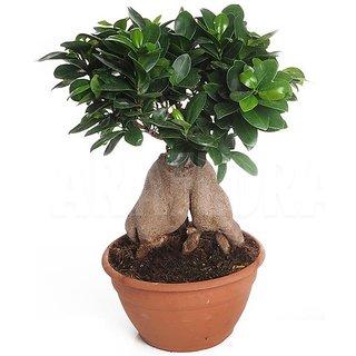 Bonsai Ficus Tree Seeds