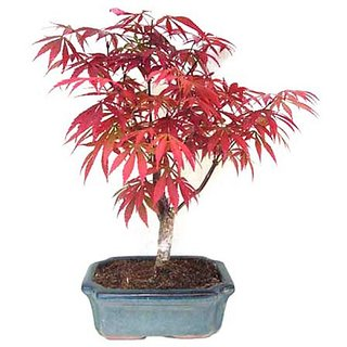 Beautiful Imported Japanese Red Maple Bonsai Tree Seeds