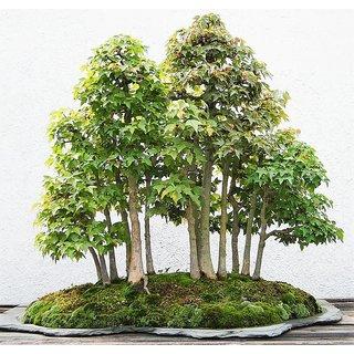 Custard apple (Sitafal) Tree Seeds