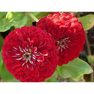 Beautiful Zinnia 3 Color(Red + Purple+ Orange) Combo Pack of Flower Seeds