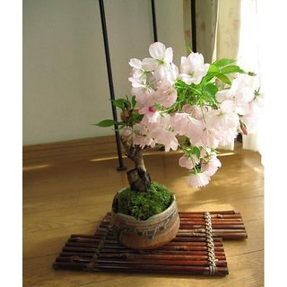 Japanese Sakura Cherry Bloosom Bonsai Flower Tree Plant   Seeds