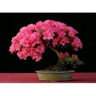 Japanese Sakura Cherry Blossom Bonsai Flower Tree Plant Seeds