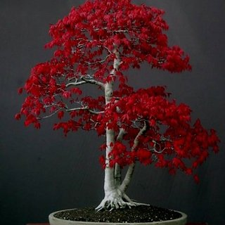 Beautiful Imported Japanese Other Red Maple Bonsai Tree Seed