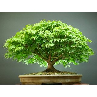 Beautiful Imported Japanese Maple Bonsai Tree Seeds