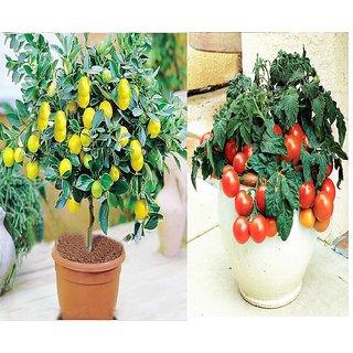 Imported Bonsai Lemon  + Cherry Tomato Tree Plant Seeds