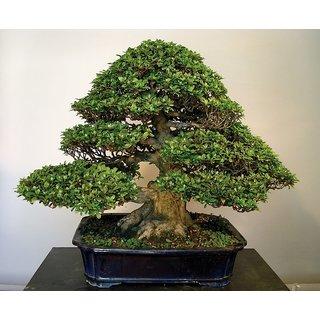 Bonsai Green Pine Tree Seeds