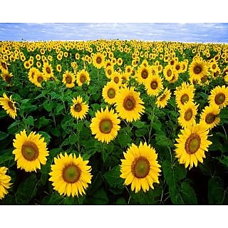 Two Types of Attractive SunFlower Plant Seeds