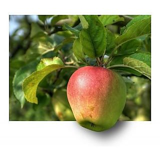 Bonsai Apple Tree Fruit Seeds