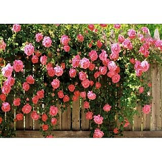 Beautiful Climbing Rose Tree Plant Seeds