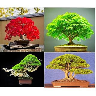 Imported 4 Types Bonsai Pine + Red Maple + Elm + Red Wood Seeds