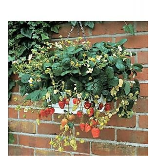 Attractive Climbing Strawberry Plant Seeds