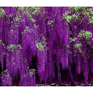 Japanese Vine Wisteria Long Blossom Flower Tree Seeds