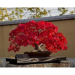 Beautiful Japanese Red Maple Bonsai Tree Seeds