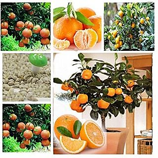 Attractive Imported Bonsai Orange TreePlant Seeds