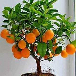 Bonsai Orange TreePlant Seeds