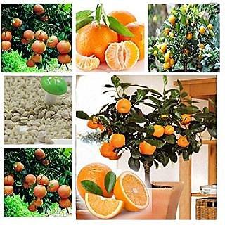Bonsai Orange Tree Fruit Seeds