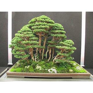 Imported Red Cedar Bonsai Tree Seeds