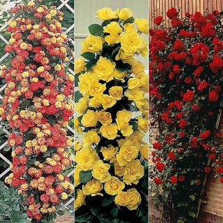 4 Color Combo Beautiful Climbing Rose(Yellow+Pink)+Rare Rose(RedBlack+Velvet) Seeds