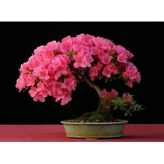 Japanese Sakura Cherry Blossom Bonsai Flower Tree Plant Seeds