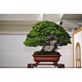 Bonsai Chinese Elm Tree Seeds