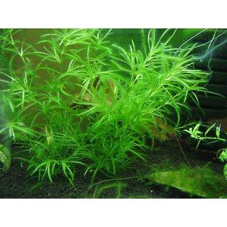 Futaba Aquarium Grass Seeds - 100 Pcs