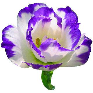 Futaba Purple Eustoma Seeds - 100 Seeds