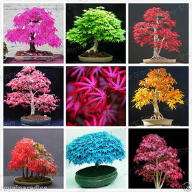 Seeds-Mixed American Maple Bonsai Tree 15 Mixed Varieties Seeds