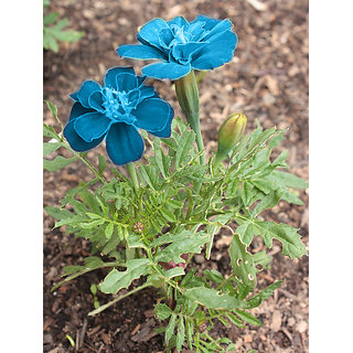 Blue Marigold, Dwarf French Blue Marigold Flower -  Seeds