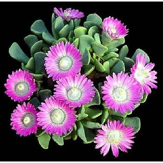 Aloinopsis Spathulata rare succulent plant mesembs living stone seed 15 SEEDS