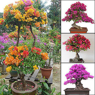 Mixed color bougainvillea bonsai flower plant seeds home for Garden accessories online