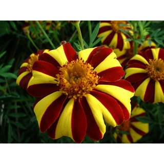 Marigold  Tagetes Seeds Mister Majestic Annual Flowers