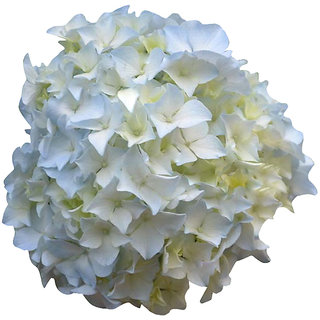 Futaba Bonsai White Hydrangea Seeds - 100 Pcs
